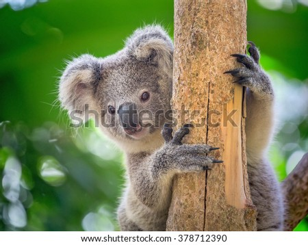 Koala Bear in zoo. - stock photo