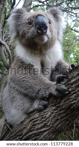 Koala beside the road at Cape Bridgewater, Australia. - stock photo