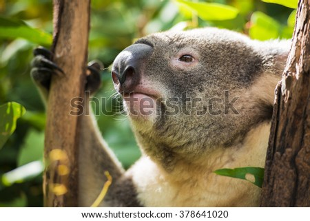 Koala by itself in a tree
