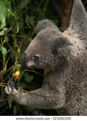 Koala feeding, Currumbin, Australia - stock photo