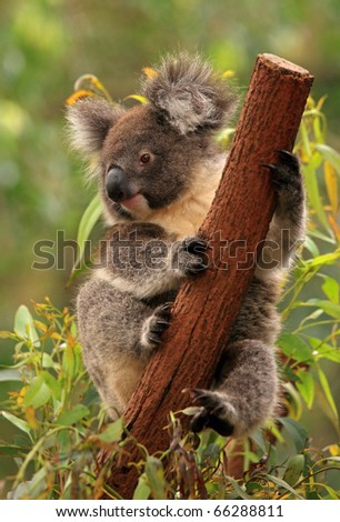 Koala holds the tree trunk - stock photo