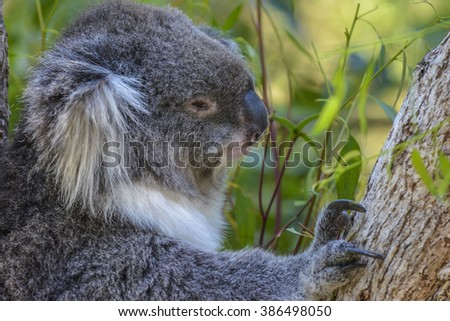 Koala in Melbourne, Victoria, Australia - stock photo
