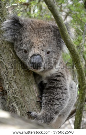koala logs australian urban dictionary