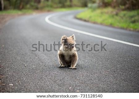 Koala on the road near Melbourne, Queensland, Australia