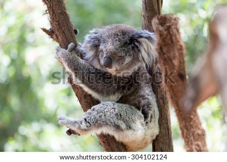 Koala relaxing in a tree, Australia. Close-up. Koala Bear in zoo. - stock photo
