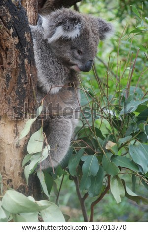Koala sits on a branch and looks down at Healesville Sanctuary, Victoria, Australia - stock photo