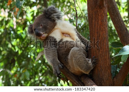 koala with bald spot like a stuffed toy with a pocket in the front taking casual lean - stock photo