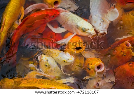 Koi are swimming and eat food