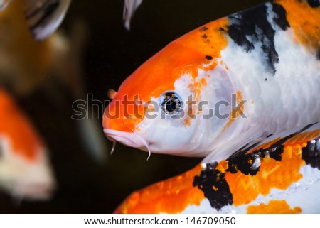 Koi carp extreme close up in an aquarium