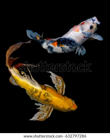 Koi carp fish swim aquarium pool stock photo 632797286 for All black koi fish