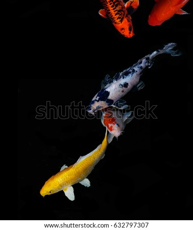 Koi stock images royalty free images vectors shutterstock Koi fish swimming pool