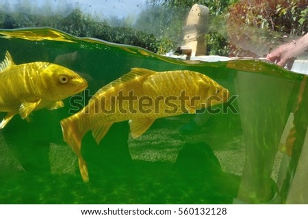 Koi carps in pond