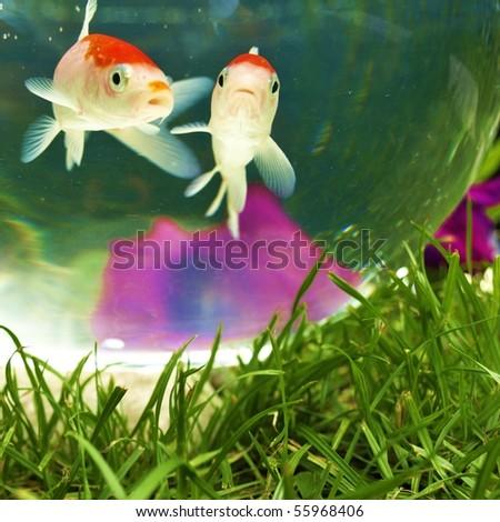 Koi couple - stock photo