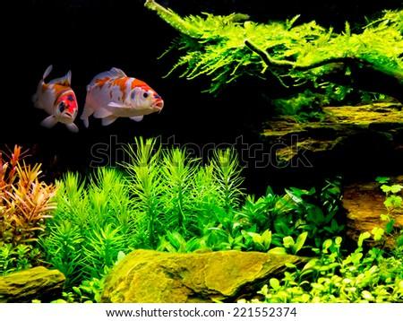 Koi couple in fish tank - stock photo