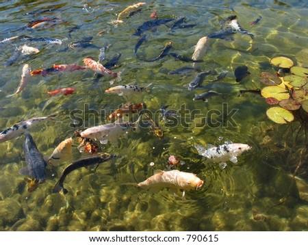Koi fish eating - stock photo