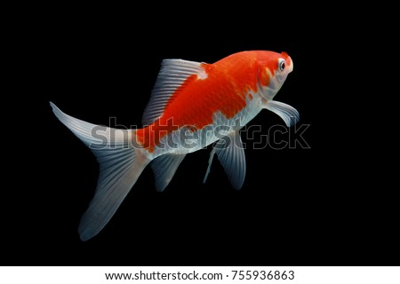 Koi stock images royalty free images vectors shutterstock for Red koi carp