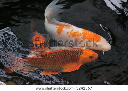 Koi Fish in Pond - stock photo