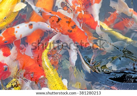 Koi fish in water.