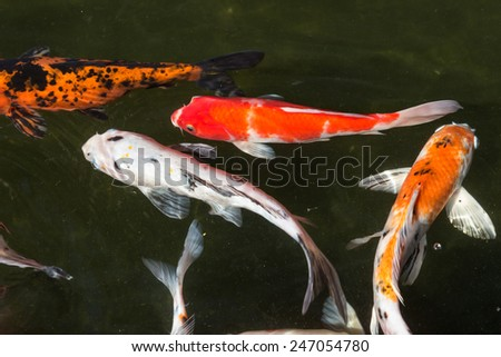 Stock images royalty free images vectors shutterstock for Koi fish swimming