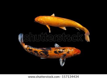 Koi stock images royalty free images vectors shutterstock for Black koi carp