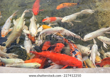 Koi fish swimming in a water pool or stone pond - stock photo