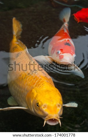 Koi stock photos images pictures shutterstock for Koi fish swimming