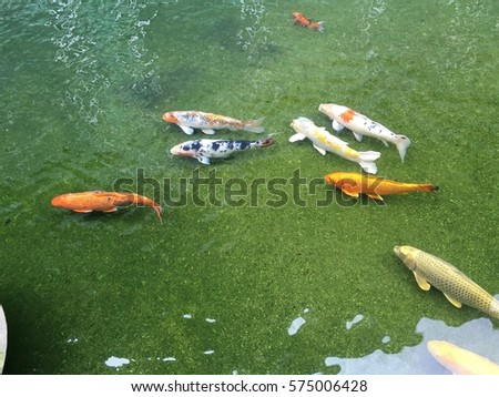 Carp fish swim pond stock photo 604663676 shutterstock for Koi fry pool