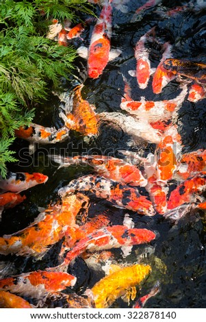 Koi fishes in a pond