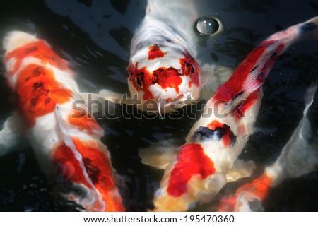 Koi swimming in a water garden - stock photo