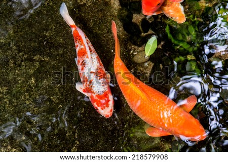 Koi swimming in a water garden,Colorful koi fish,Detail of colorful koi fish in the pond - stock photo