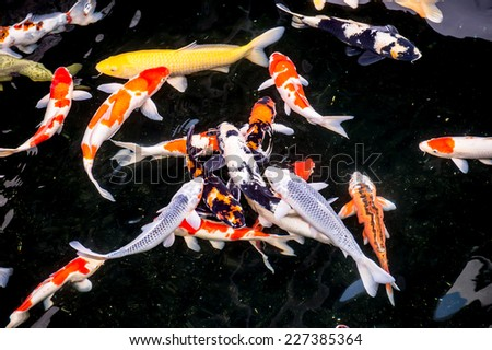 Koi pond stock images royalty free images vectors for Koi swimming