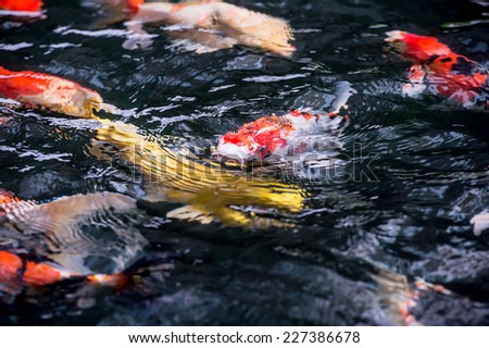 Koi swimming in a water garden,Colorful koi fish,Detail of colorful koi fish in the pond