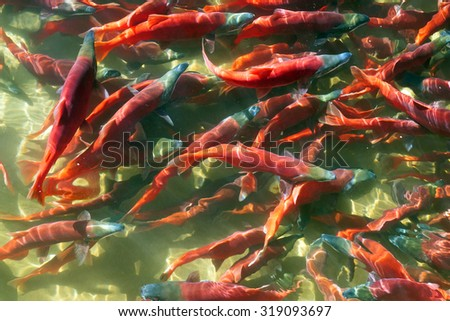 Kokanee Salmon (Oncorhynchus nerka) in its spawning colors, Utah, USA.