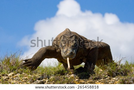 Komodo dragon against a beautiful sky. Rare shot. Indonesia. Komodo National Park.
