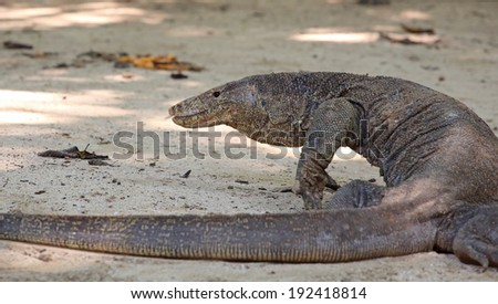Komodo Dragon, the largest lizard