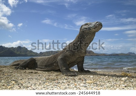 Komodo Dragon, Varanus komodensis, on beach, Komodo Island, Indonesia SE Asia  Large male monitor lizard along the beach/shoreline as it seeks food by scavenging