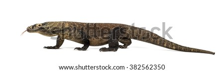 Komodo Dragon walking and sticking the tongue out, isolated on white (4 years old) - stock photo