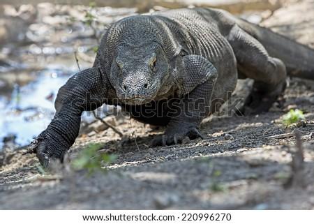 Komodo Dragon walking in the wild on Komodo Island - stock photo