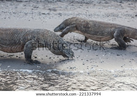 Komodo dragons (Varanus komodoensis) patrol a beach in Komodo National Park, Indonesia, searching for prey. These are the largest lizards on Earth and have recently proven to be venomous. - stock photo