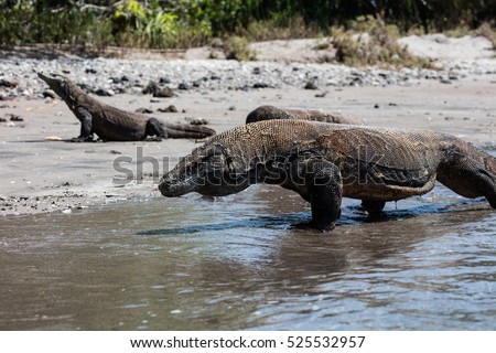 Komodo dragons (Varanus komodoensis) prowl along a remote beach in Komodo National Park, Indonesia. These dangerous reptiles are the world's largest lizards.
