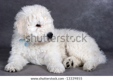 Komondor puppy on grey background
