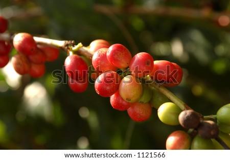 Kona Coffee - Big Island - Hawaii - stock photo