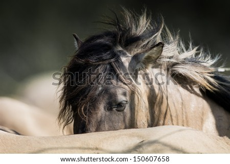 Konik horse is sleeping in the pack - stock photo