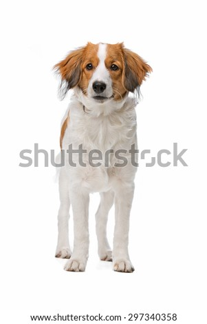 Kooiker dog, Dutch Dog breed, in front of a white background - stock photo