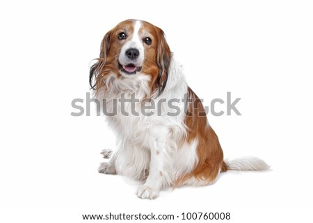 Kooiker Hound in front of a white background