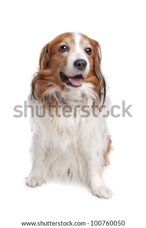 Kooiker Hound in front of a white background - stock photo