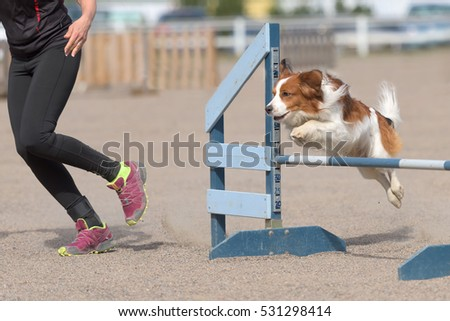 Kooikerhondje jumps over an agility hurdle in agility competition