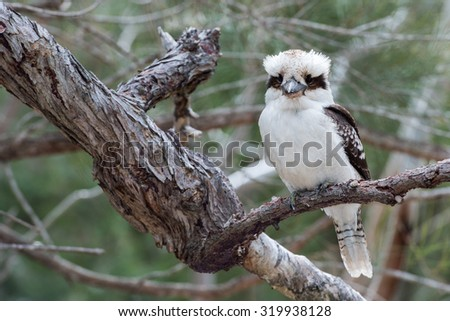 Kookaburra Australia laughing bird portrait while looking at you - stock photo