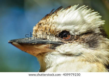 Kookaburra closeup in Australia - stock photo