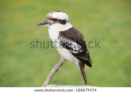 Kookaburra perched on a twig in the Australian Bush - stock photo